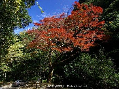 イロハモミジの巨木
