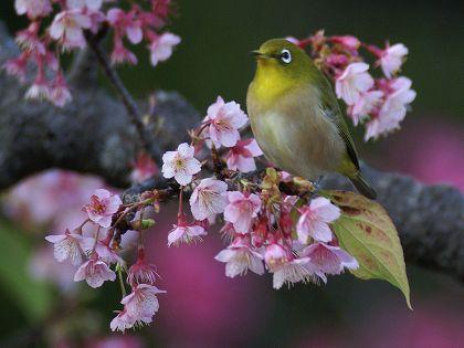 寒緋桜-カンヒザクラ