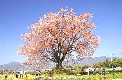 ヤマザクラ 国富町 大坪の一本桜