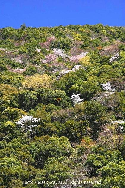 綾町 照葉樹林のヤマザクラ 05