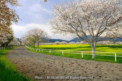 綾町 馬事公苑の桜と菜の花