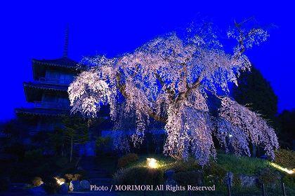 浄専寺のシダレザクラ 夜 ライトアップ 07