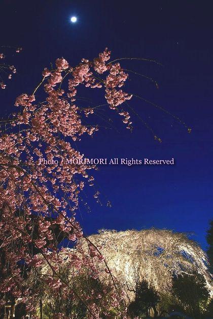 浄専寺のシダレザクラ 夜 ライトアップ 08