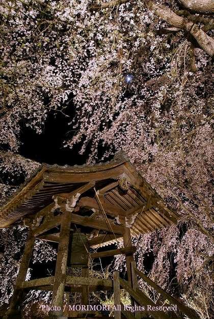 浄専寺のシダレザクラ 夜 鐘つき堂周辺