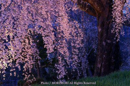 浄専寺のシダレザクラ 夜 ライトアップ 正面幹付近