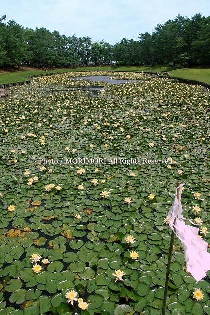 みそぎ池のスイレン B