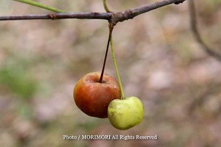 ミカイドウの果実