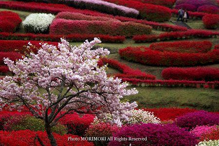 椎八重公園の八重桜とツツジ