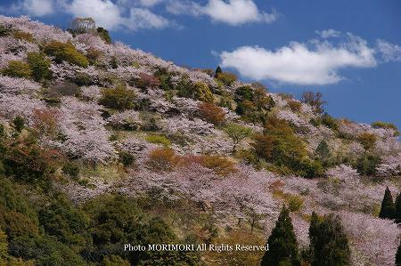 日南市花立公園の桜