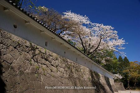 日南市飫肥城址の桜