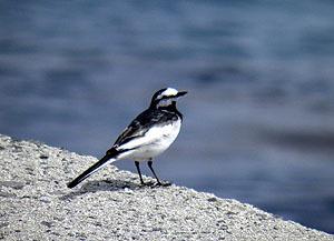 石井の波止の鳥
