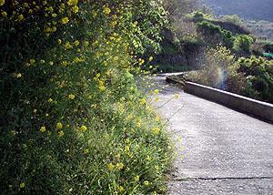 テーラー道の菜の花