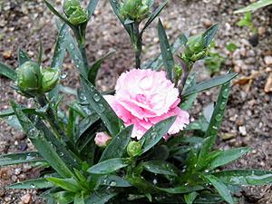 雨に濡れる花