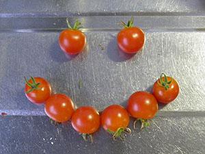 裏の畑のミニトマト