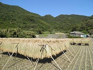 三浦の田んぼ