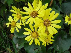 季節の花ツワブキ