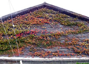 農協の壁の紅葉