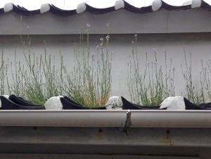 屋根の上のお花畑