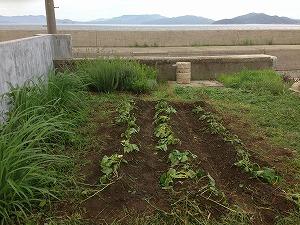 アメリカ芋を植えました