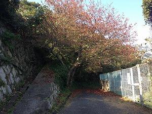 水源地の桜