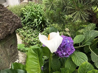 カラー&紫陽花
