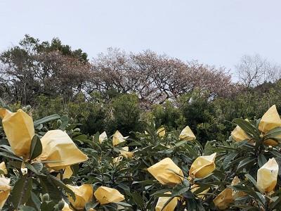 三浦の山桜