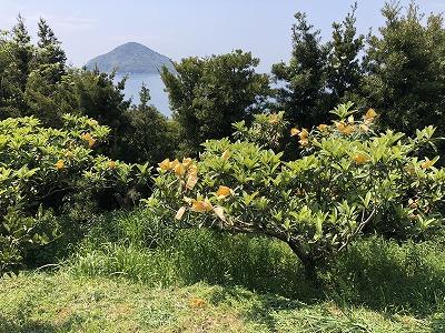 ビワ畑と小祝島