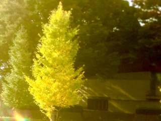 studio ab,屋上からの銀杏。秋めいてます。