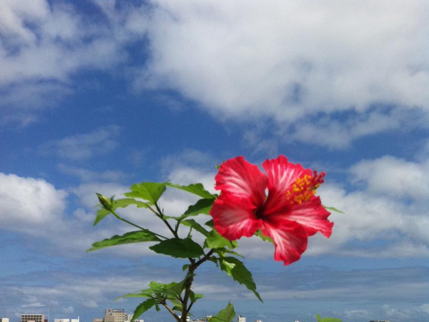 201205_hibiscus