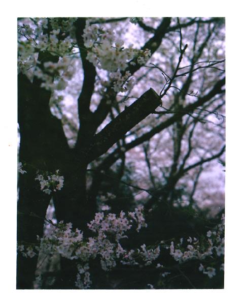 桜プレス01