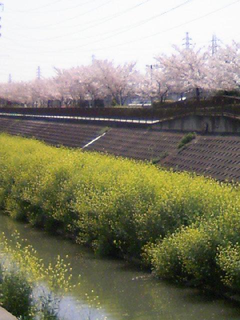 桜がずら〜り!  黄色と桜色した川みたい♪