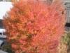 紅く色づく葉  この色に決めたのはなぜ?