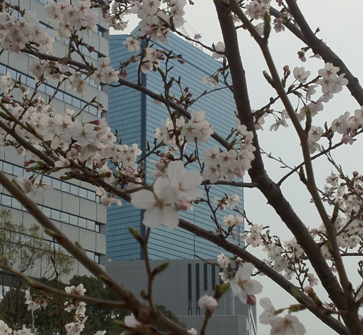 桜6 24 コピー.JPG
