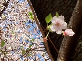 桜アップ大物5.JPG