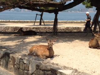 厳島の鹿.JPG