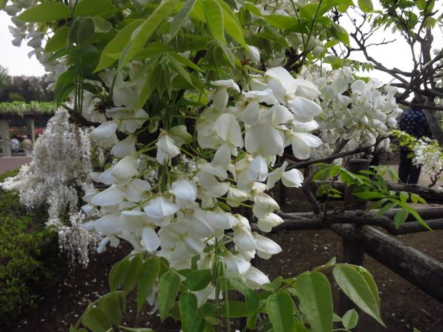 2s_IMG_1655神代植物園ふじ白.jpg
