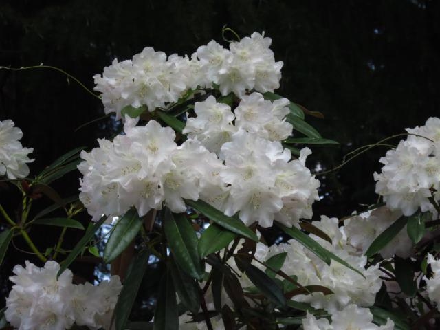 s_IMG_1644神代植物園しゃくなげ2.jpg