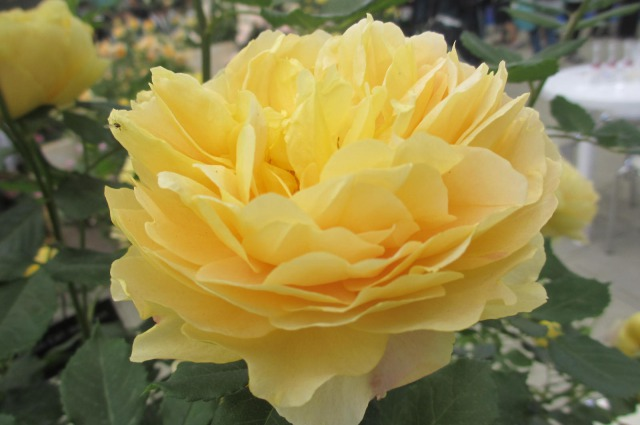 s_IMG_45508国際バラとガーデニング黄色.jpg