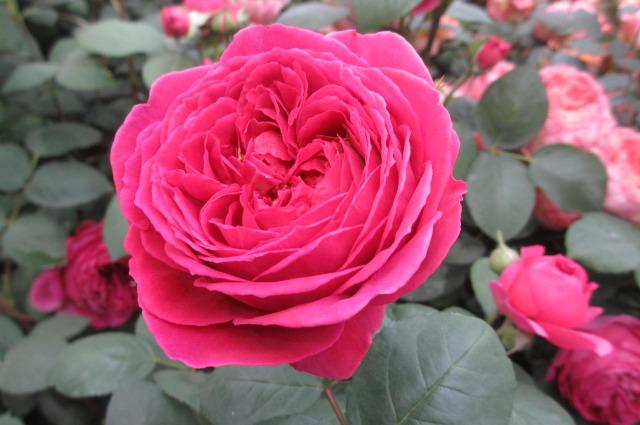 s_IMG_45648国際バラとガーデニング濃いピンク.jpg