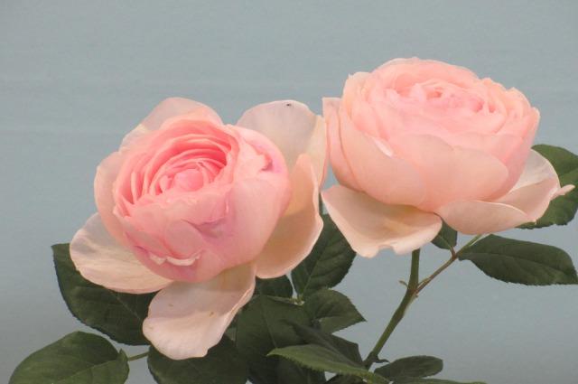 s_IMG_4508国際バラ展ピンク二輪.jpg