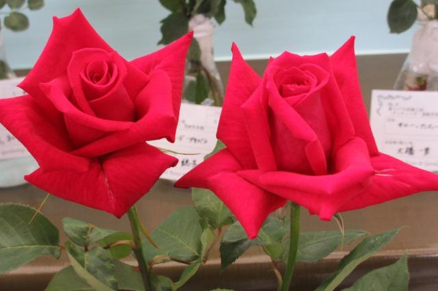s_IMG_4514国際バラ展濃い赤二輪.jpg
