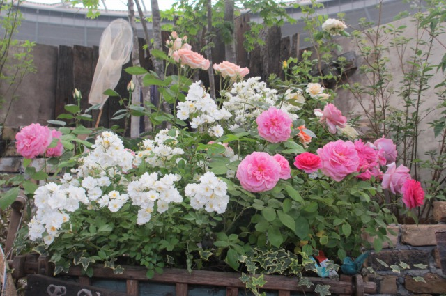s_IMG_4535国際バラ展庭.jpg