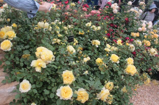 s_IMG_45588国際バラとガーデニング庭.jpg