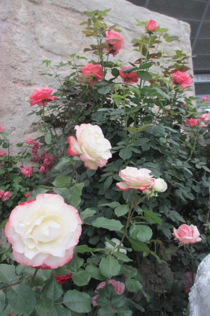 s_IMG_45828国際バラとガーデニング庭.jpg