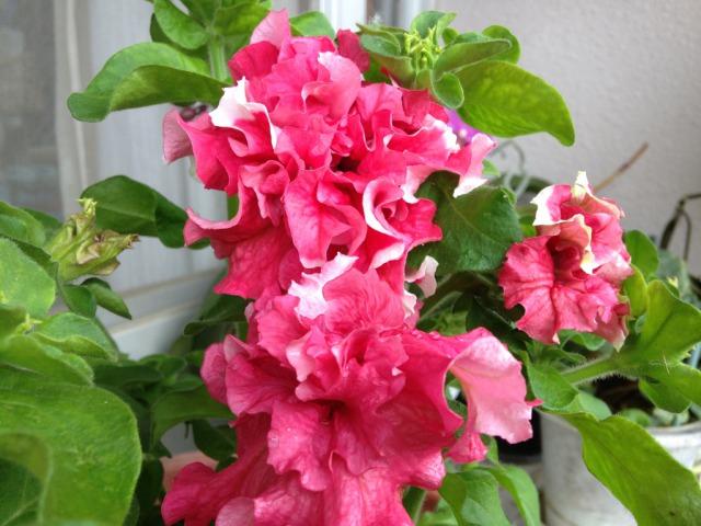 s_3IMG_3671我が家の花ペチュニア.jpg