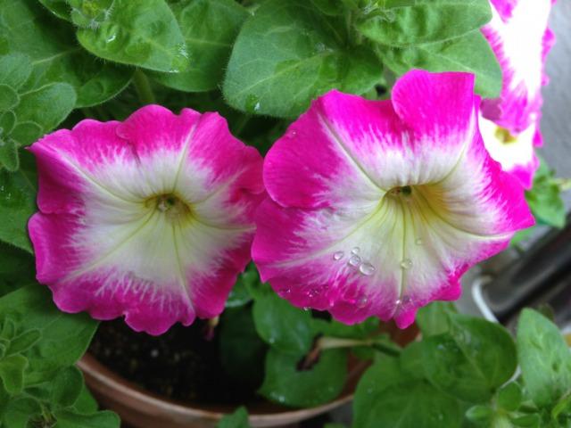 s_4IMG_6194我が家の花我が家の花ペチュニア2.jpg