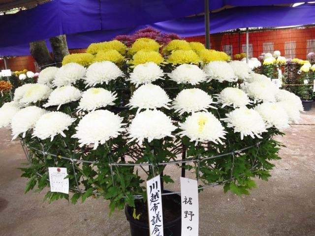 s_2014-11-05%20037.jpg川越菊まつり19.jpg