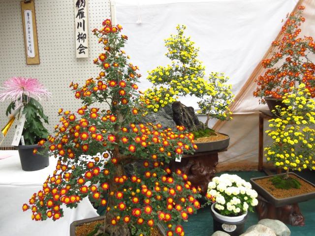 s_2014-11-05%20011.jpg川越菊まつり6.jpg