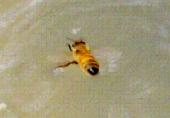 ハチが泳ぐ