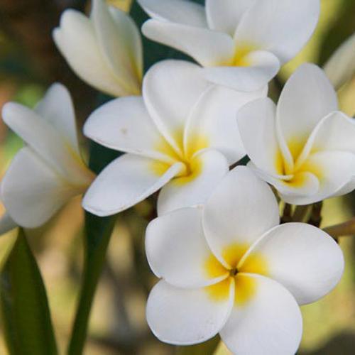 Maui Plumeria Garden